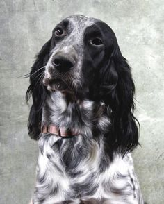 Kinds Of Dogs, Spaniels, Animals, Animales, Animaux, Types Of Dogs, Animal, Animais