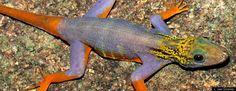 new species discovered #PsychedelicGecko