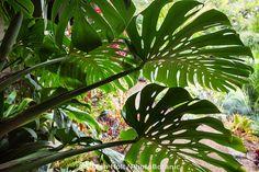 Split-leaf philodendron (Monstera deliciosa) leaf in shade backlit against bright garden