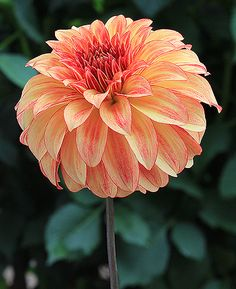 """Irish Pinwheel Height - 4' Blooms - 4"""" Size/Form - Stellar Color - Flame Blend - Yellow & Red ADS Class - 7012 Clear standout in its show class. Very attractive easy to manage plants in the garden. Prolific cut flower producer."""