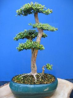 So you want to keep a bonsai tree, you are not alone in this and may be you have even had one before but it died as is common to hear however it probably wasn't your fault so here is a simple guide to starting out for the first time or having a second go.… Continue reading →