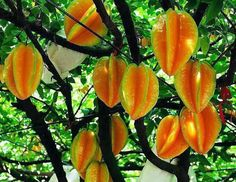 ...star fruit tree...