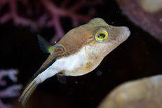 Love these little pufferfish.