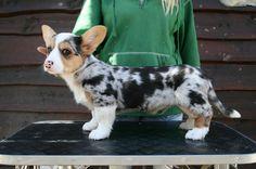 blue merle with tan corgi puppy