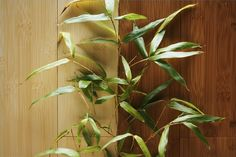 How to Care For Bamboo Plant