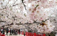 Cherry Blossom in Hirosaki 2013@<桜>「まつり」終了の弘前公園 9日遅れでやっと満開