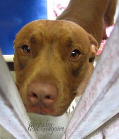 A4828959 My name is Scooby Doo. I am a very friendly 1 yr old male red/white pit bull mix. My owner left me here on May 11. available now NOTE: Pit bulls are not kept as long as others so those dogs are always urgent!! Baldwin Park shelter https://www.facebook.com/photo.php?fbid=968793599799144&set=a.705235432821630&type=3&theater