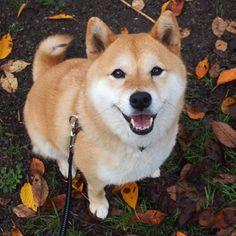 落ち葉が増えてきましたね #shiba #dog #komugi #柴犬