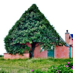 The painters house:  This old pink house is situated at the old dunes, a few hundred meters from the west coast, a very windy place were there isn't much that can grow. So the tree can only grow where it has shelter. It has always looked this way.