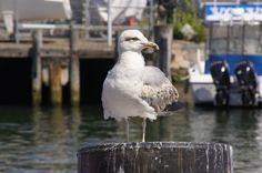 Seagull - Warnemünde