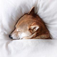 柴犬, #Shiba Inu