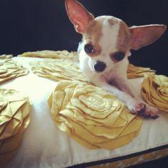 teacup chihuahua Lola :)