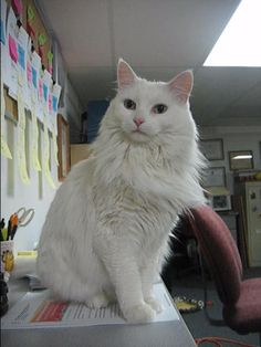 We found out our Goldie is a Turkish Angora.  This photo is not Goldie but it looks very much like her.