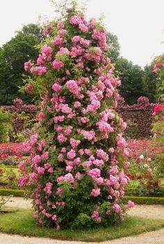 "💖 Great article on growing climbing roses. ""When It Comes To Climbing Roses, The Key Is Patience"". Many gardeners are frustrated by their climbing rose not blooming the 1st season. Here is why and what you can do about it. ~ Beautiful pink climbing rose topiary / tree: Mrs. F. W. Flight climbing rose growing on a pillar. This look takes several years to achieve. Photo: Paul Zimmerman Roses."