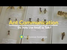 Ant Communication: Do Ants Use Smell to Talk? | Ted Schultz, research entomologist at Smithsonian's National Museum of Natural History, describes how ants use their incredible sense of smell along with their ability to produce pheromones to communicate with one another.