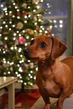 Christmas Dachshund #dachshund
