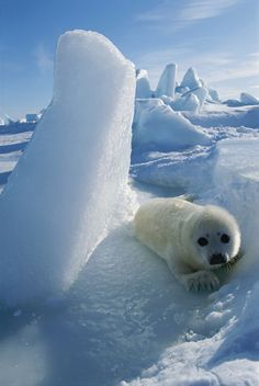 A baby harp seal lies beside a block of ice. by Norbert Rosing