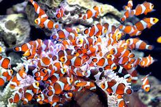 A group of clownfish is displayed ahead of the Taiwan International Ornamental Fish Expo in Taipei in September 2011. Conservationists are working to improve the home aquarium industry by ending destructive fishing practices and encouraging aquaculture.  Pichi Chuang/Reuters/File