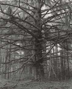 Robert Adams, Sikka Spruce, Cape Blanco State Park,Curry County Oregon1993