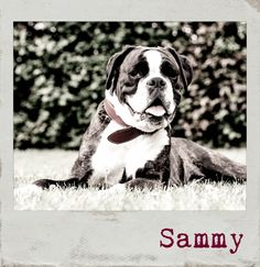 My Best Friend Sammy 🐶 #PolaroidFx #Polaroid #Frame #Filter #Dog #Animals #Pets #Boxer
