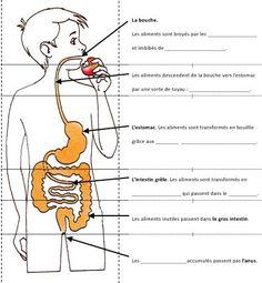 Alimentation digestion au cycle III
