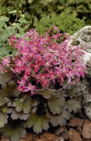 Saxifraga c. 'Black Ruby'