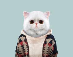Exotic Shorthair Cat - Felis Catus