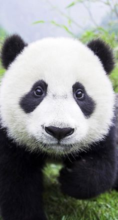 Hello, I'm Pandy. Looking for bamboo sticks to eat...but these big monster-looking machines are tearing down my forests. You can help by going to http://www.care2.com/ to learn more about endangered animals like me. I must be off now!! Thanks for caring!!