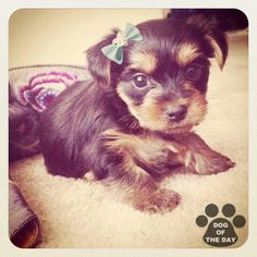 """""""DOG OF THE DAY  @yorkiediaries May.28,2012"""