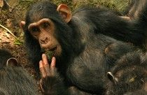For The First Time, Wild Chimpanzees Spotted Learning From Teachers