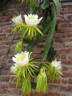 Hylocereus undatus (Dragon Fruit) Hylocereus undatus is a sprawling or vining, terrestrial or epiphytic cactus… Agaves, Cacti And Succulents, Planting Succulents, Planting Flowers, Orchid Cactus, Cactus Flower, Cactus Art, Unusual Flowers, Amazing Flowers