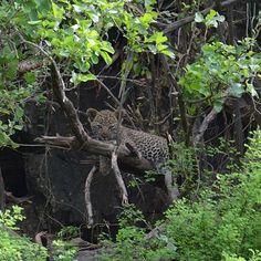 "Photo ""LeopardCubsaresohardtospotbutwithalittlehelpfromagreatguide,"" by samanthavaneldik"