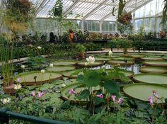 Kew Gardens water lilies.