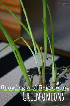 Growing And Regrowing Green Onion - A Hot Southern Mess