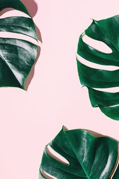 Monstera green leaves on pink Free Photo Leaves Wallpaper Iphone, Plant Wallpaper, Tropical Wallpaper, Green Wallpaper, Aesthetic Iphone Wallpaper, Iphone Wallpaper Classy, Aztec Wallpaper, Beautiful Wallpaper, Fall Wallpaper