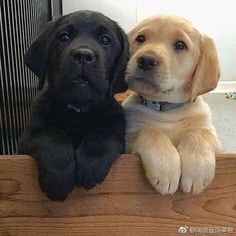 38 Cute Labrador Puppies That Will Melt Your Heart - Süße Hundebilder - Sweet Dogs! Cute Labrador Puppies, Cute Dogs And Puppies, Doggies, Retriever Puppies, Black Lab Puppies, Adorable Puppies, Labrador Retrievers, Golden Retrievers, Black Labrador Retriever