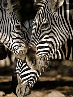 Zebra Gifts added a new photo. Jungle Animals, Animals And Pets, Cute Animals, Exotic Animals, Wild Animals, African Animals, African Safari, Zebras, Beautiful Creatures