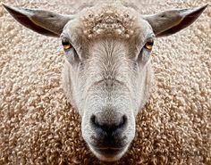 sheep - great shot!!!!