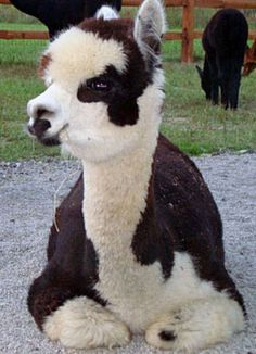 alpaca - interesting coloring