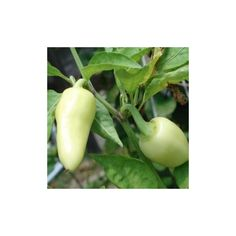 Hot Chilli Pepper Seeds CALORO (Capsicum annuum)  1,75€  Hot Chilli Pepper Seeds CALORO (Capsicum annuum) Price for Package of 10 seeds. It is an Annuum making it closely related to the Bell Pepper, Jalapeños and Czechoslovakian Black.This baby has the looks, the smell and the taste of one great pepper, but it is a chilli. She is one sweet sixteen with a temperament that will make you want her. But behold, she bites if you take her the wrong