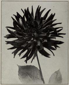 """nemfrog:  """"""""Dahlia Ingress."""" Catalog of dahlias. 1919.  """""""