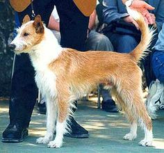 Podengo Portugues / (Portuguese Warren Hound - Portuguese Podengo) Medium - Long - and wire-haired Portugal http://theportuguesewaterblog.blogspot.it/2010/06/dogs-of-portugal.html