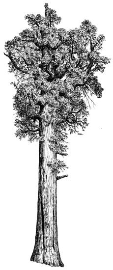 Image result for Sequoia gigantea Sequoiadendron giganteum