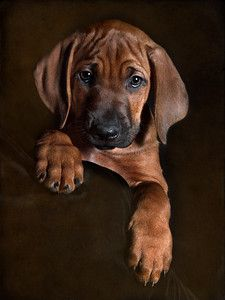 8 Week old Rhodesian Ridgeback Puppy