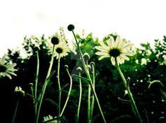 Daisy by DimyPhotography