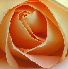 Apricot Rose, by Ascendingkitty