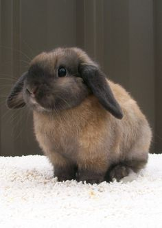 This mini lop is colored like my own bunny who is a Netherland Dwarf. I call this cinnamon toast because of the many shades of brown.