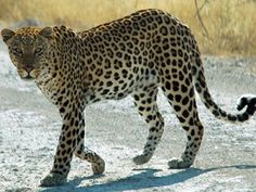 Leopard Killed By A Tiger In Bhadrawati Forest range this incident was taken place yesterday (17/10/2014) in Kachrala beat under Bhadrawati forest range.