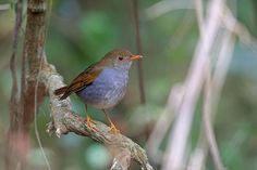 Orange-billed Nightingale-Thrush La Concordia Mexico Cancun continues to be the No. 1 top holiday destination with regard to United State…