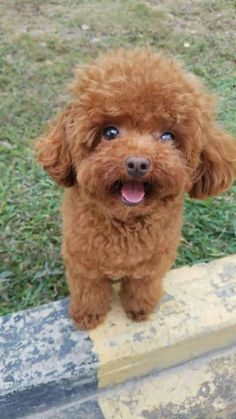 My friendly little companion Lambo and I would like to tell you that toy poodles make the perfect pet! With their happy wagging tails, compact size… Super Cute Puppies, Cute Little Puppies, Cute Dogs And Puppies, Baby Dogs, Pet Dogs, Fluffy Puppies, Toy Puppies, Pets, Doggies
